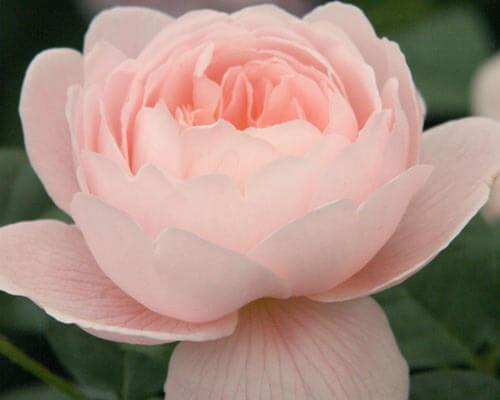 Rose Power Mat - RA 10 - Self Love