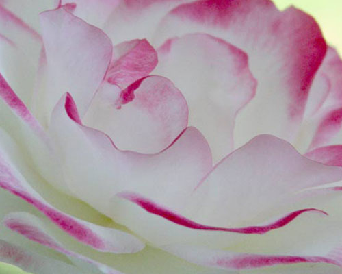 Rose Class 4